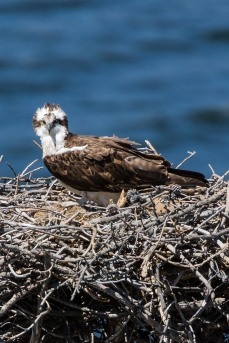 Grand Lake Osprey